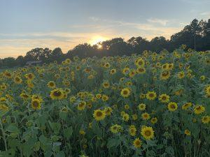 Sunflowers and an Arkansas sunset – Kind words are the flowers!