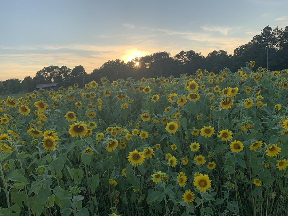 Sunflowers in Arkansas – opt